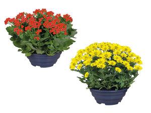 Blühpflanze in Schale