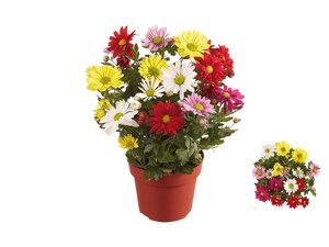 Chrysanthemen Fun-Colour 6er
