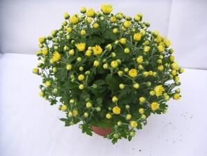 Chrysantheme Ø 30cm ,  14 cm Topf