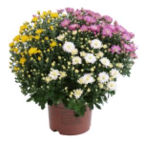 Chrysanthemen Trio Busch