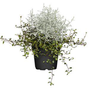 Stacheldrahtpflanze mit Drahtwein 12 cm