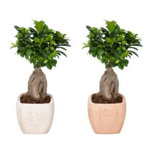 GARDENLINE     Bonsai (Ficus Ginseng)