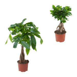 GARDENLINE     Ficus Ginseng / Pachira