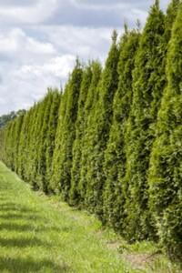 Lebensbaum 80-100 cm 24 cm Topf, 80-100 cm hoch