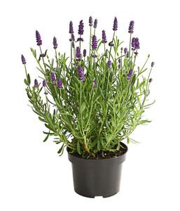 Downderry Lavendel