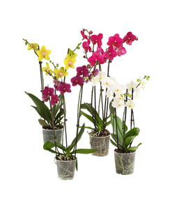 Phalaenopsis, 3-Trieber