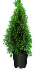 Lebensbaum »Brabant« oder »Smaragd«