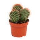 Bild 3 von GARDENLINE     Kaktus / Sukkulente