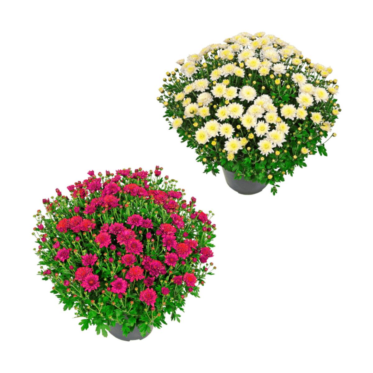 Bild 1 von GARDENLINE     Bauernchrysantheme