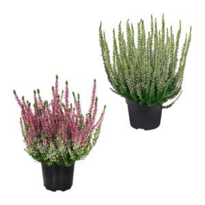 GARDENLINE     Besenheide (Calluna vulgaris)