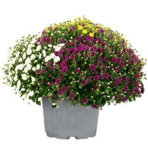 Chrysanthemenbusch XXL Trio Ø 60 cm, 26 cm Topf
