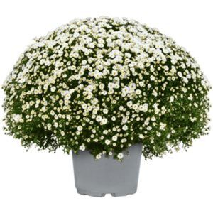 Chrysanthemenbusch XXL Ø 60 cm verschiedene Farben, 26 cm Topf