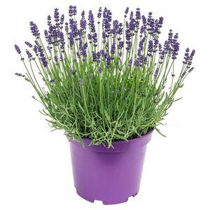 GARDENLINE®  XL-Lavendel-Busch
