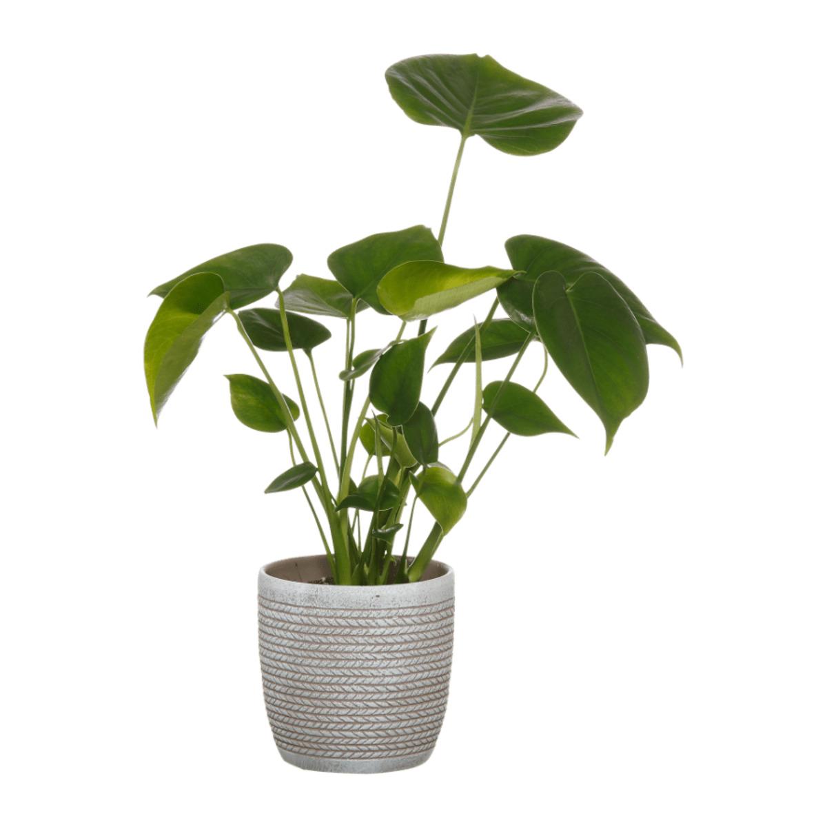 Bild 5 von GARDENLINE     Pflanze in Trendkeramik