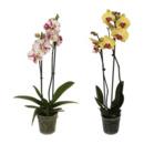 Bild 1 von GARDENLINE Phalaenopsis