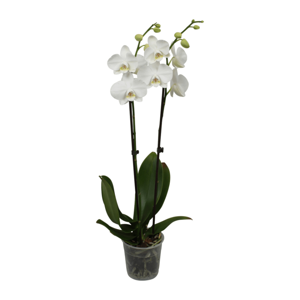 Bild 2 von GARDENLINE Phalaenopsis