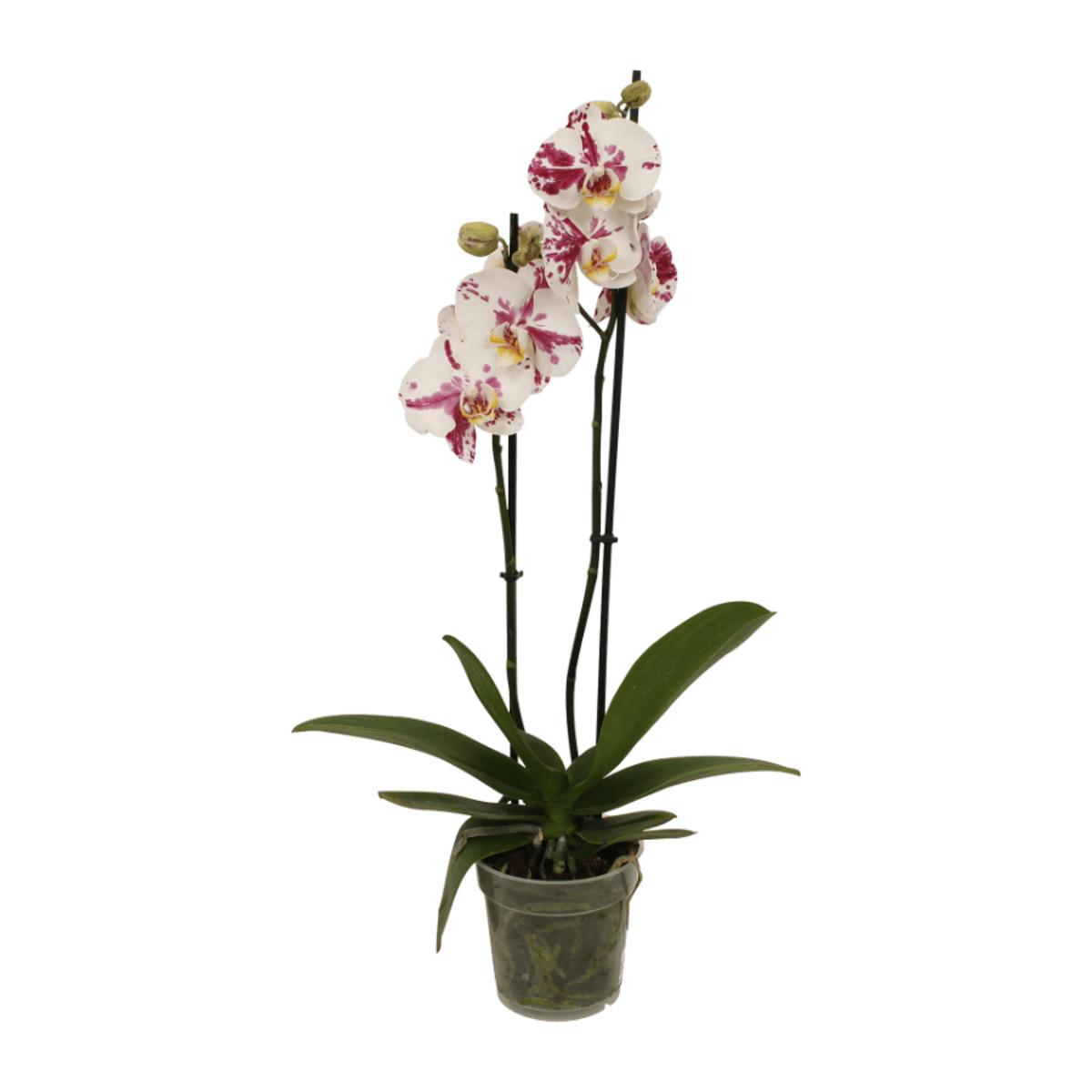 Bild 3 von GARDENLINE Phalaenopsis