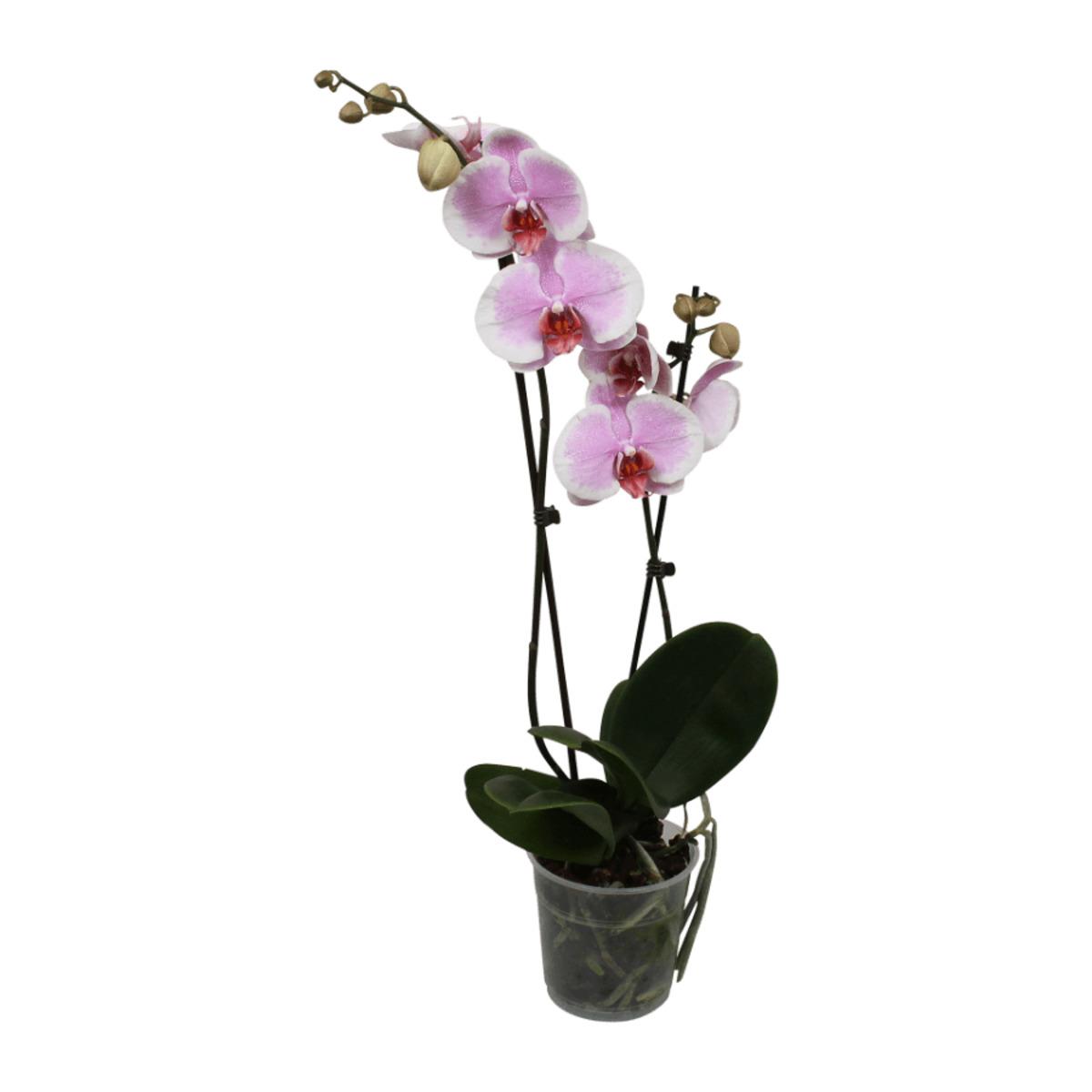 Bild 4 von GARDENLINE Phalaenopsis