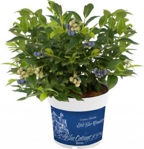 Blaubeerhecke ,  Blue Cottage Berries, 13 cm Topf