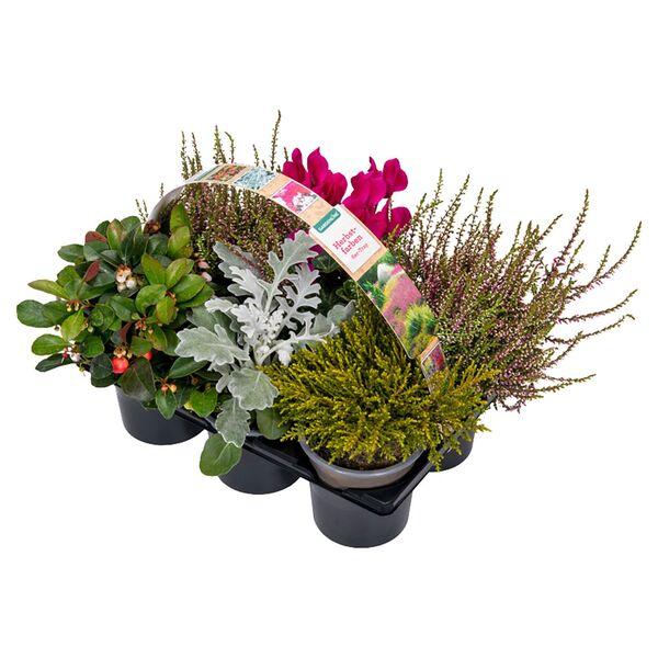 GARDENLINE®  6er-Herbstpflanzenmix