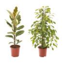 Bild 1 von GARDENLINE Grünpflanze