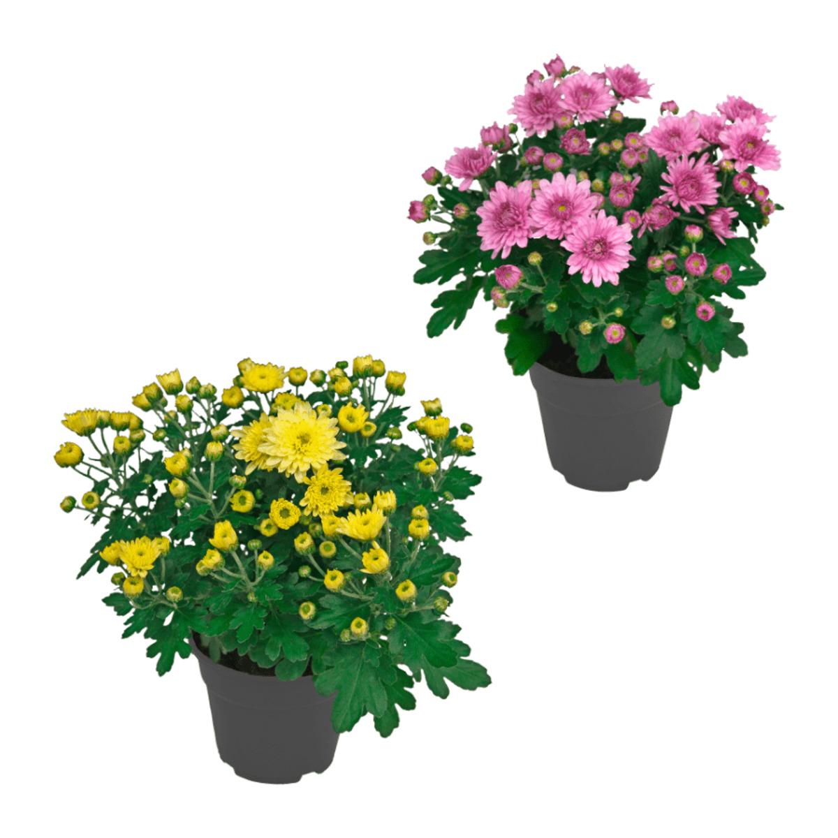 Bild 1 von GARDENLINE     Chrysantheme