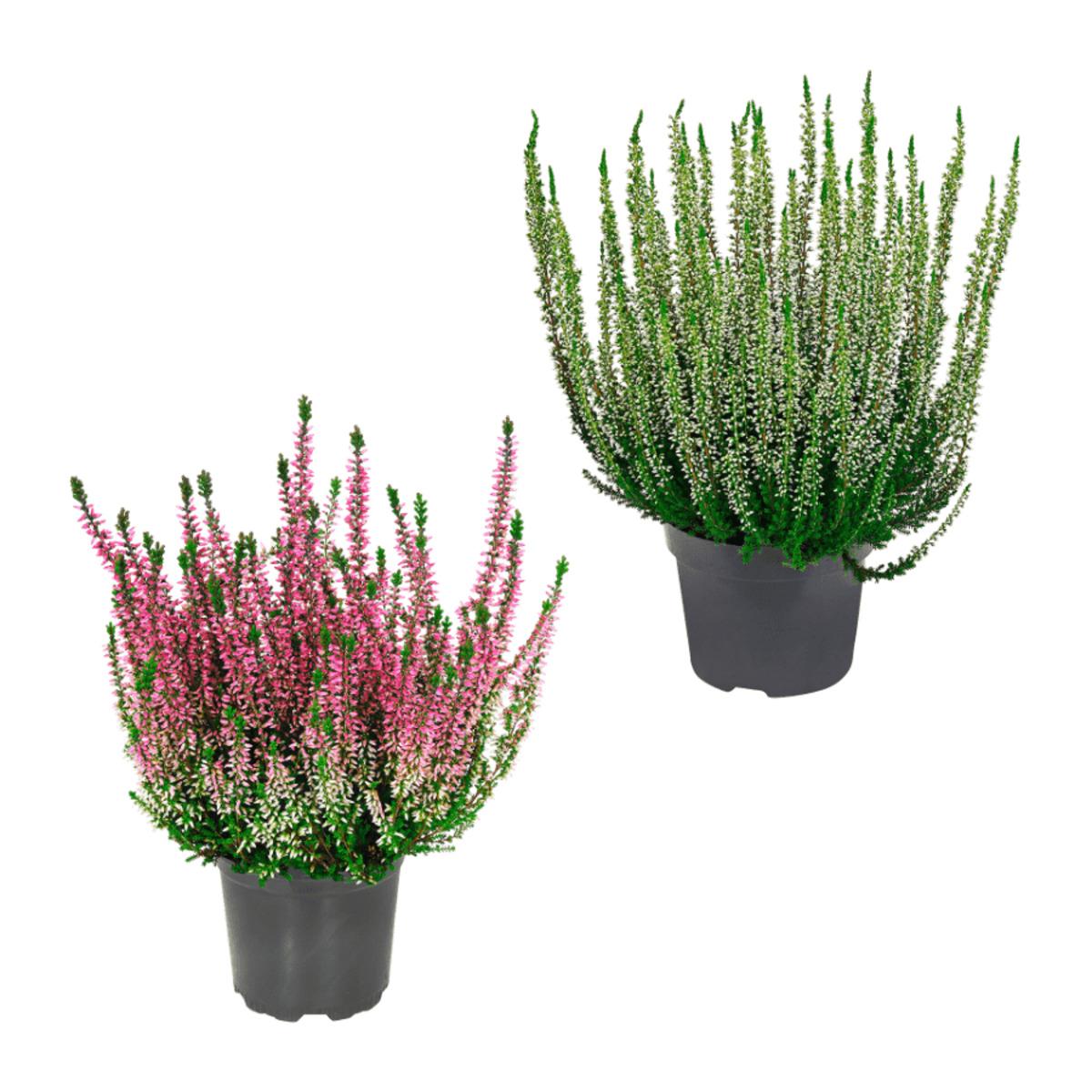 Bild 1 von GARDENLINE     Besenheide (Calluna vulgaris)