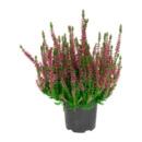Bild 2 von GARDENLINE     Besenheide (Calluna vulgaris)