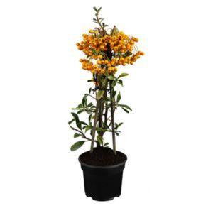 Feuerdorn fruchttragend verschiedene Farben gestäbt 14 cm Topf