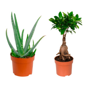 GARDENLINE   Premium-Grünpflanze