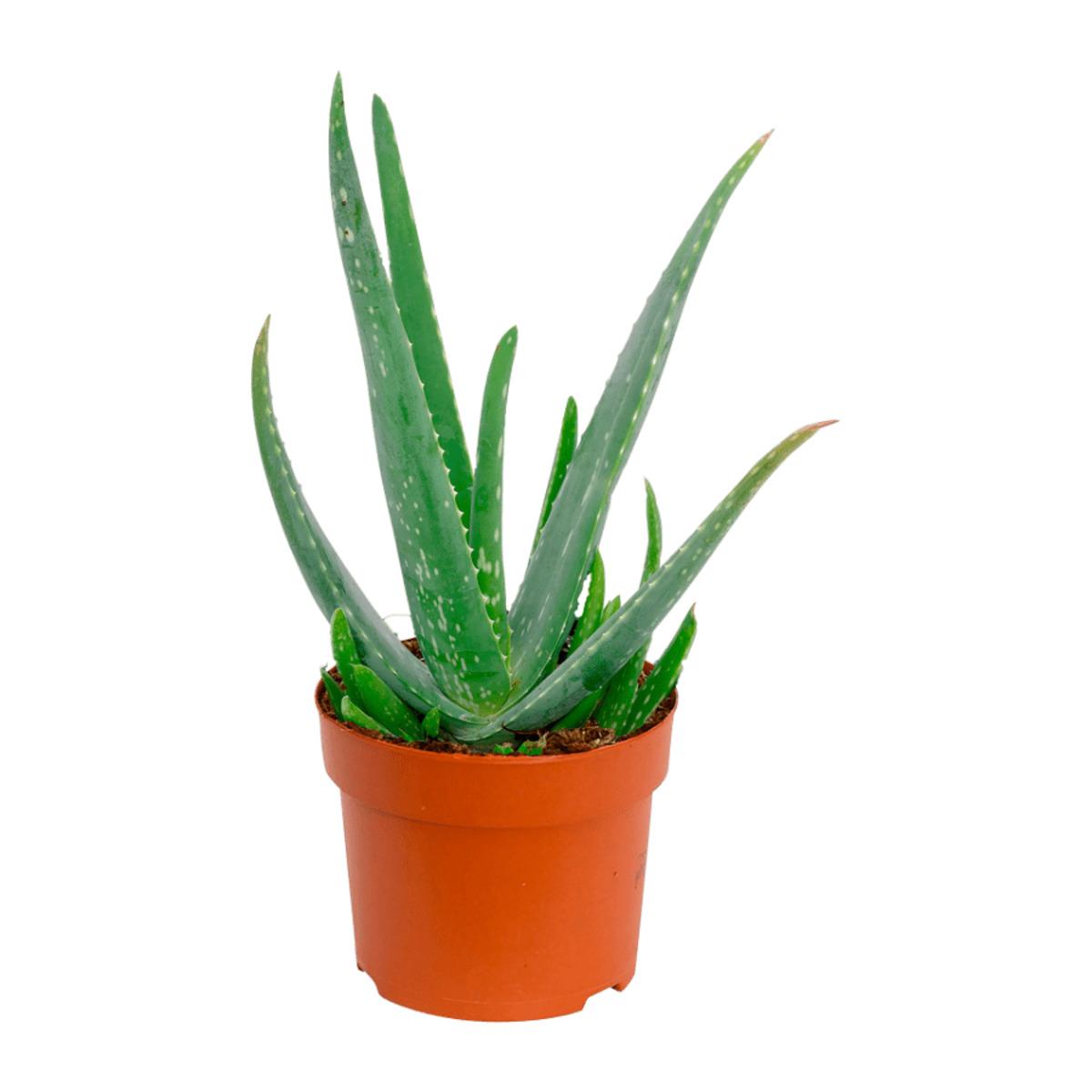 Bild 2 von GARDENLINE   Premium-Grünpflanze