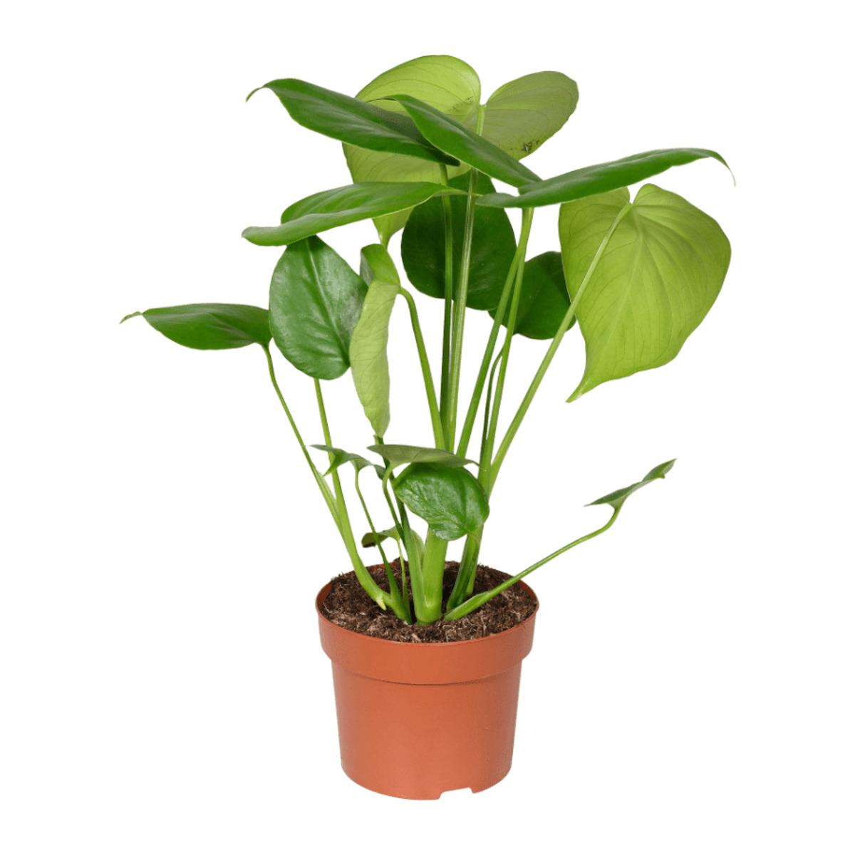 Bild 3 von GARDENLINE   Premium-Grünpflanze
