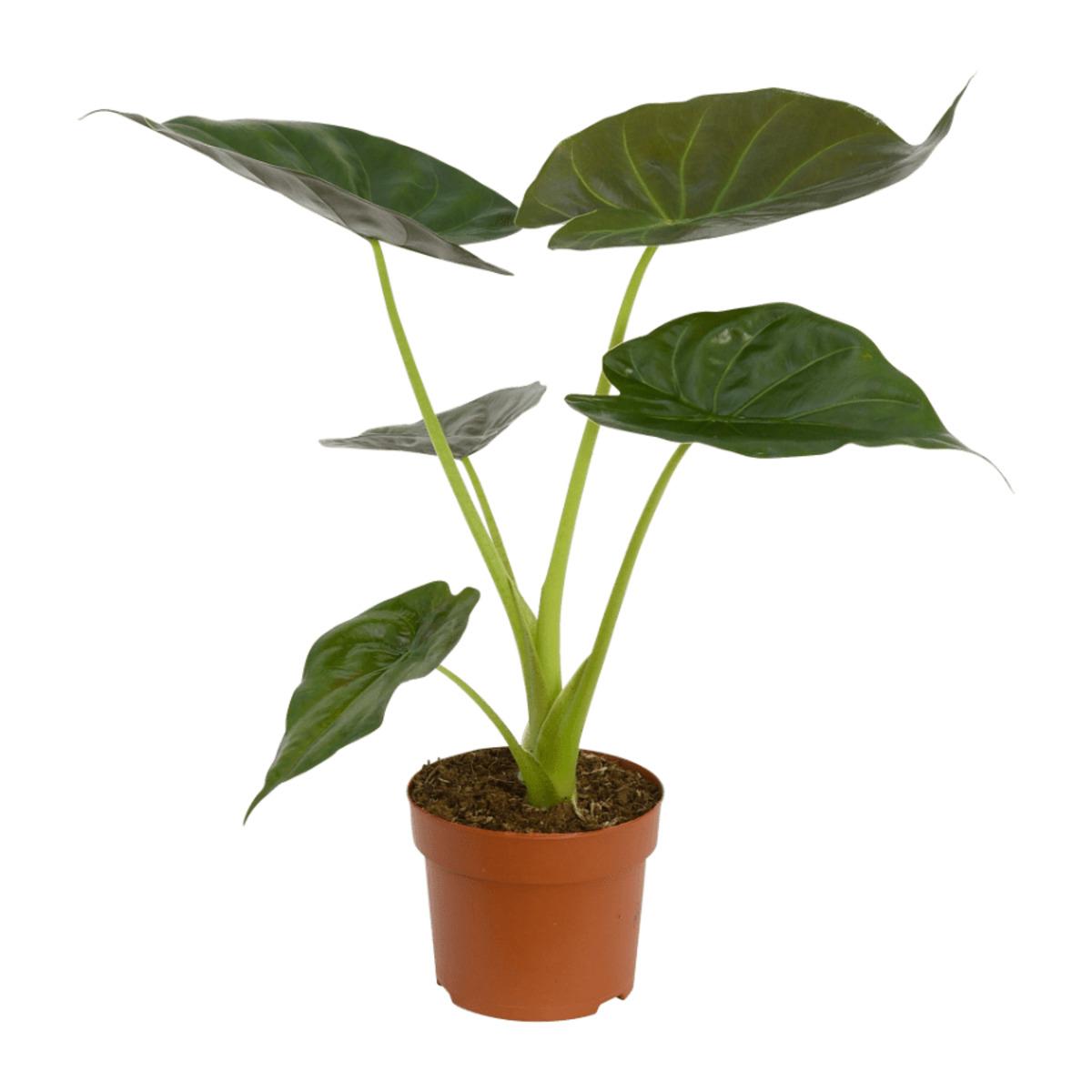 Bild 4 von GARDENLINE   Premium-Grünpflanze