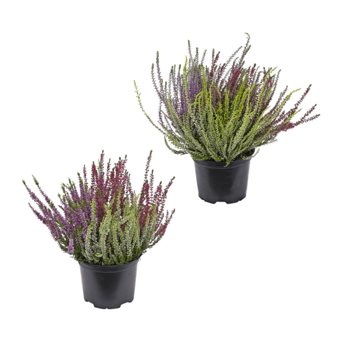 Bild 1 von GARDENLINE     Callunenbüsche