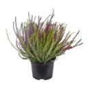 Bild 3 von GARDENLINE     Callunenbüsche