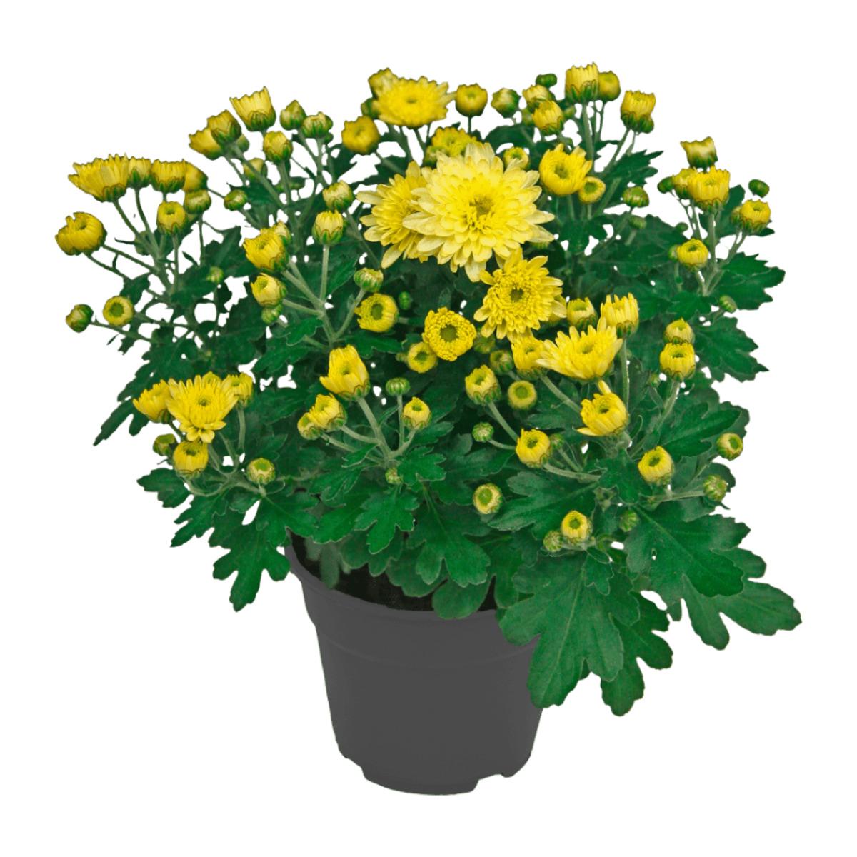 Bild 2 von GARDENLINE     Chrysantheme