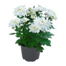 Bild 3 von GARDENLINE     Chrysantheme