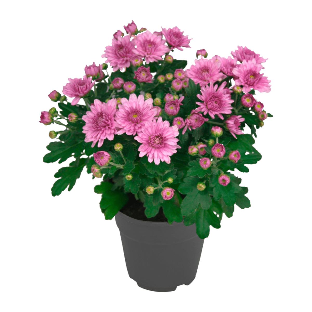 Bild 4 von GARDENLINE     Chrysantheme