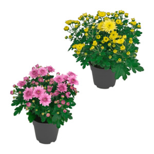 GARDENLINE     Chrysantheme