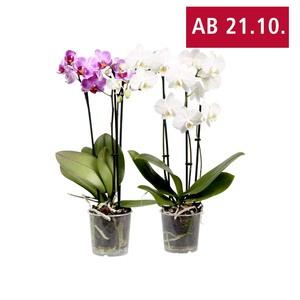 Phalaenopsis, 3-Risper versch. Farben, jeder 9-cm-Topf, Abb. ähnlich