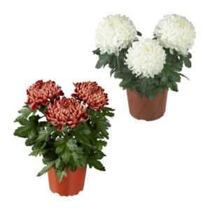GARDENLINE     Großblumige Dekochrysanthemen