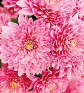 Freiland-Chrysanthemen